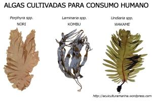 Algas cultivadas para consumo humano