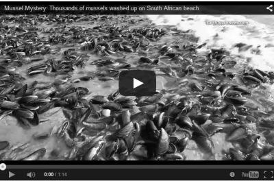 miles de mejillones en una playa