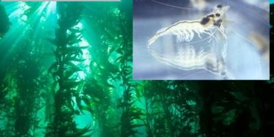 Inclusion de algas en la dieta de langostino