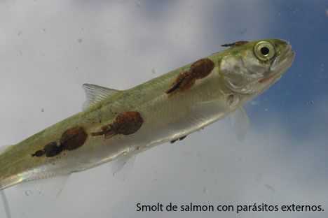 Parasitos externos del salmon atlantico