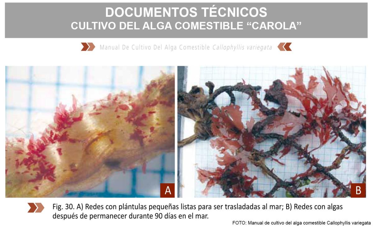 Documentos Técnicos - Manual de cultivo de algas comestibles de la especie Callophyllis variegata