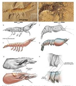 fosiles del ancestro del langostino de acuicultura