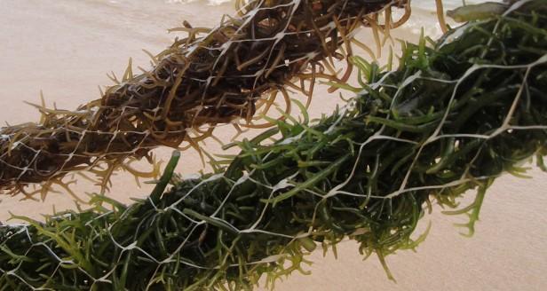 acuicultura de algas rojas cultivadas