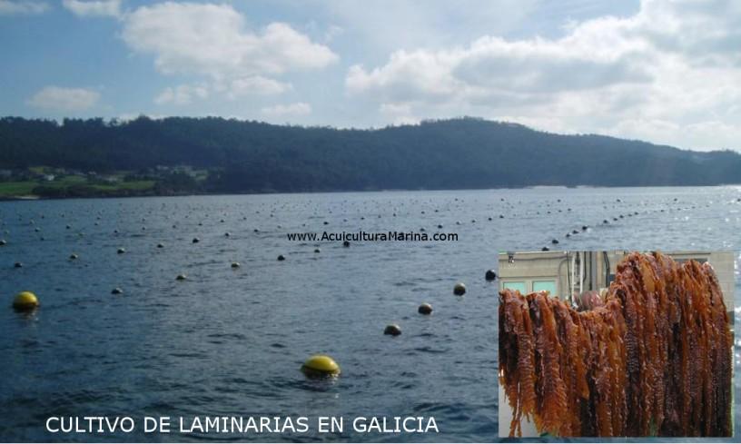cultivo de macroalgas marinas con boyas en galicia