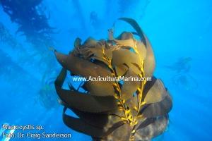 Algas Macrocystis de cultivo en Tasmania
