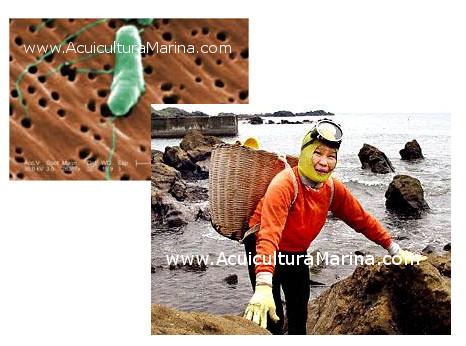acuicultora-grave-infeccion-vibrio-spp